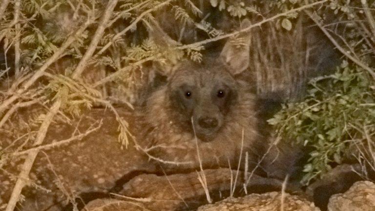Brun hyæne.