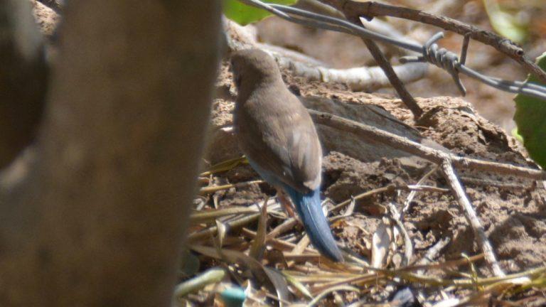 Angolasommerfuglefinke.