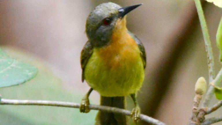 Rubinkindet solfugl (hun).