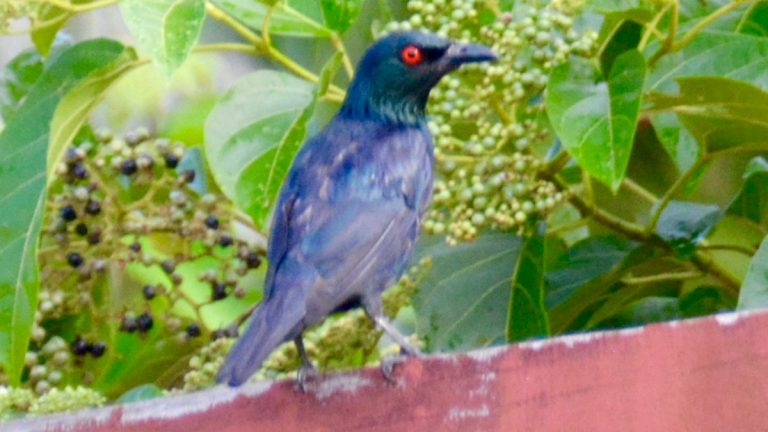 Asian glossy starling.