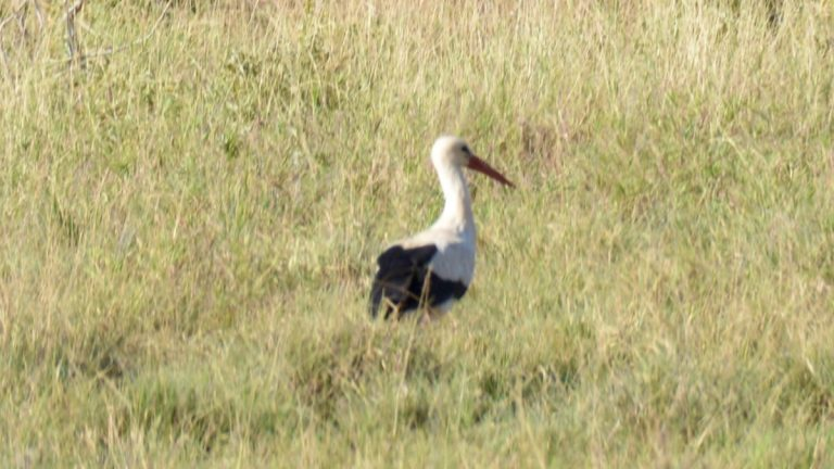 Hvid stork.