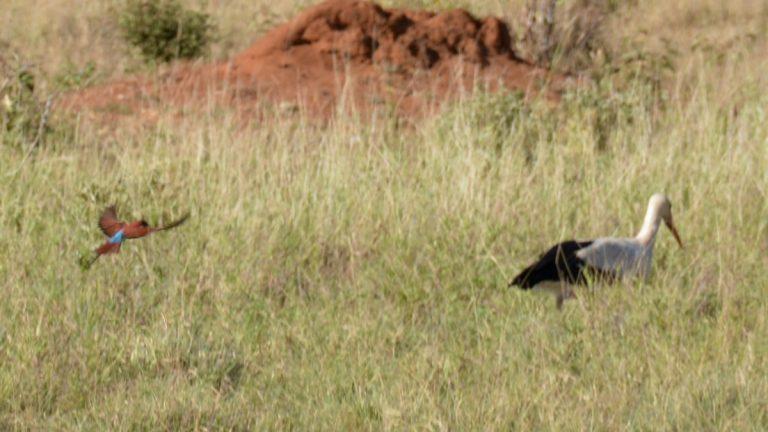 Nordlig karminbiæder og hvid stork.
