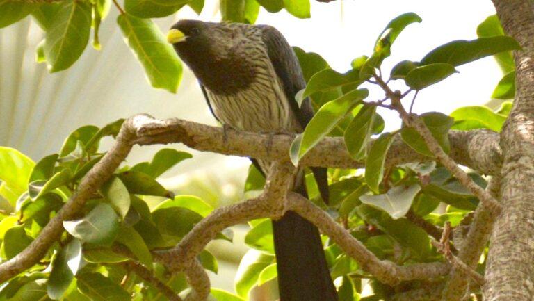 Vestlig larmfugl, Bijilo.