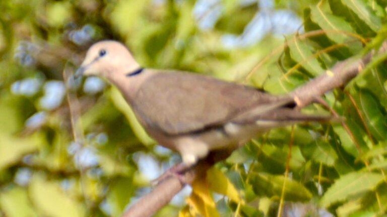 Sahelskoggerdue, Brufut.