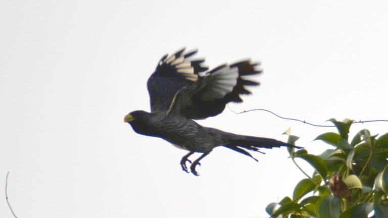 Vestlig larmfugl, Brufut.