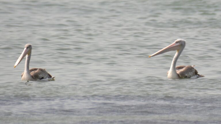 Rødryggede pelikaner, Tanji.