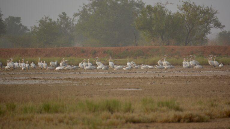 Rødryggede pelikaner, Kauur
