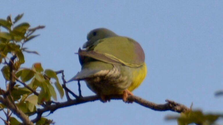 Gulbuget papegøjedue, Tendaba.