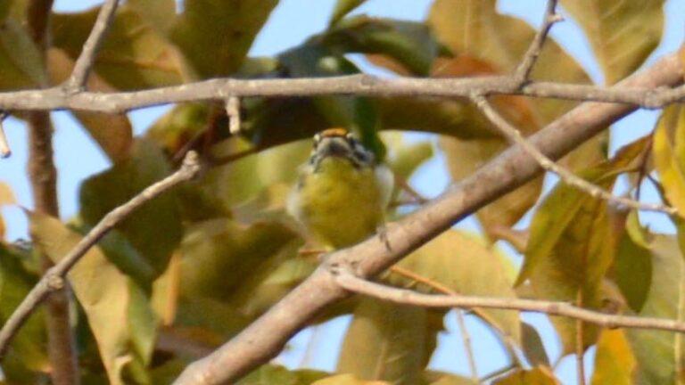 Gulpandet tinkerfugl, Tendaba.