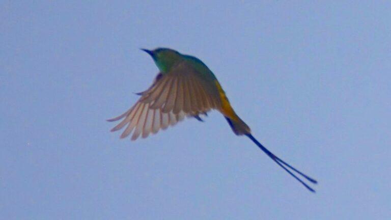 Lille solfugl, Tendaba.