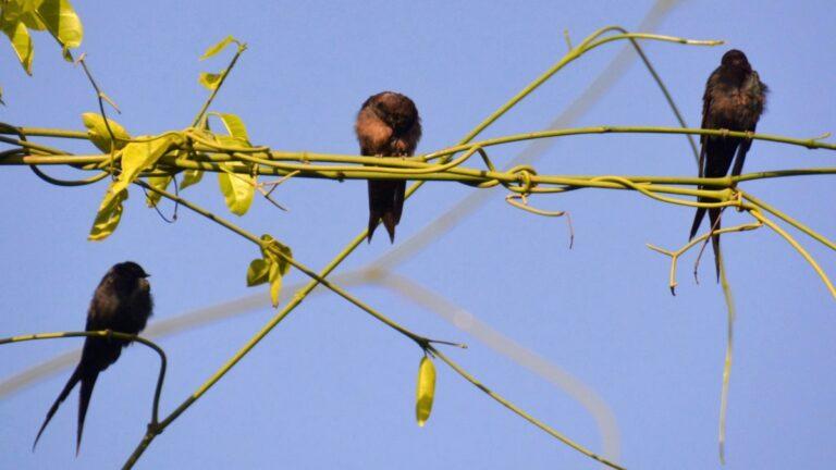 Afrikansk palmesejler, Abuko.