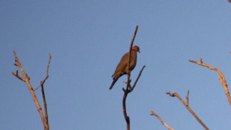 Sahelskoggerdue, Abuko.