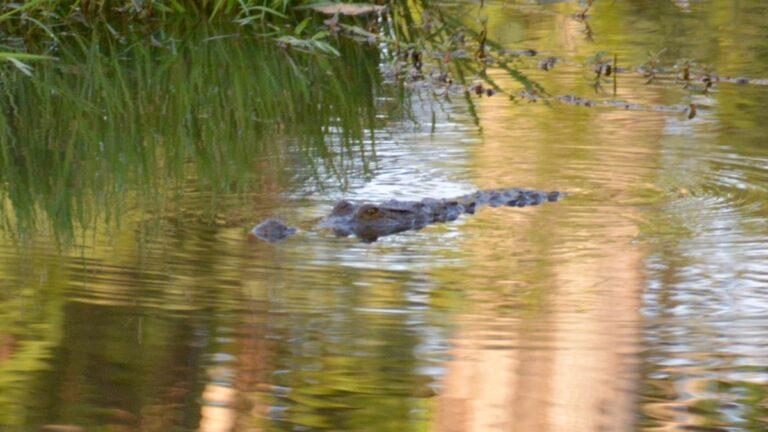 Vestafrikansk krokodille, Abuko.