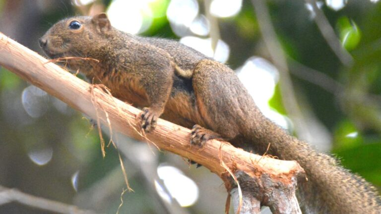 Plantain squirrel.