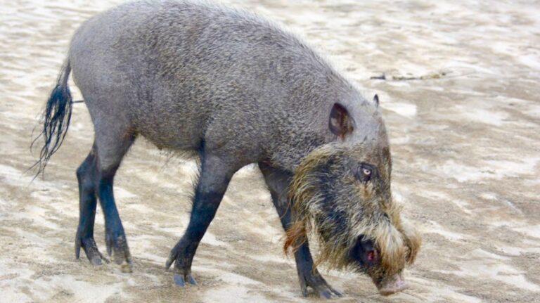 Skægsvin i Bako.